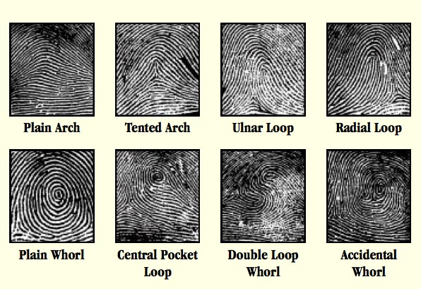 Basic fingerprint patterns: whorl, double loop, simple loop & arch.